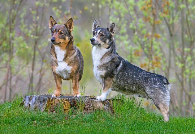 Västgötaspetsen är en sportig ras som passar som gårdshund. Den kan vara duktig på att valla och har i regel låg jaktlust.