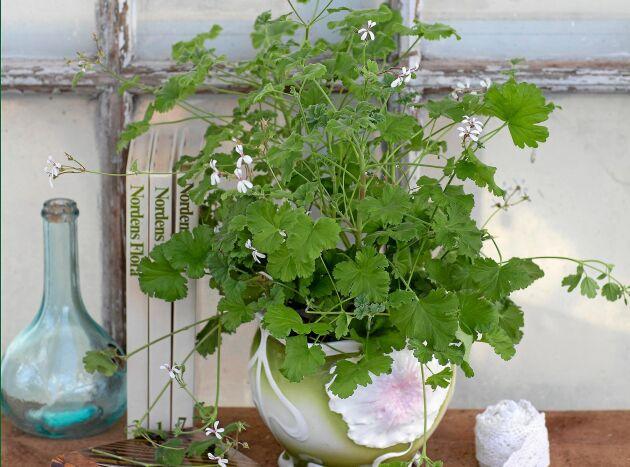 'Marias blomma' – en skir och väldoftande pelargon som du kan använda som krydda.