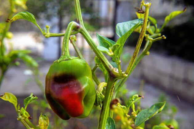 Skrynkliga blad som ramlar av. Kan det vara ohyra som drabbat din chiliplanta?