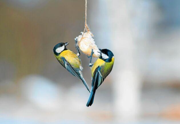 Två talgoxar kalasar på en bit skinksvål. Gott och energirikt. Men om fettet är salt, klarar fåglarna det?