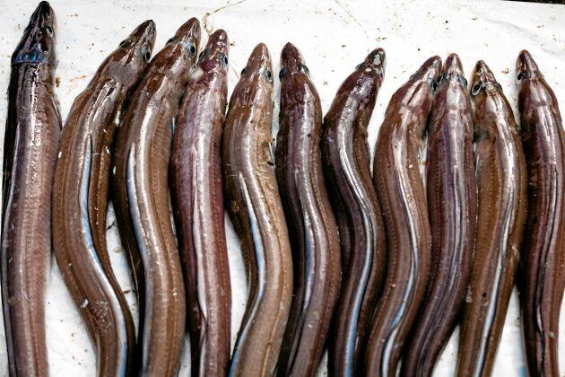 Ålen är rödlistad men dyker fortsättningsvis upp på middagsbord framför allt i Skåne.