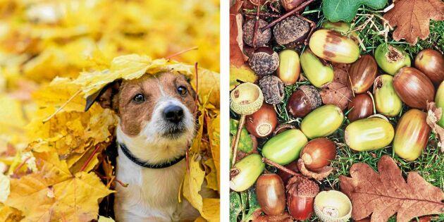 Akta! Det här kan hända om din hund äter ekollon
