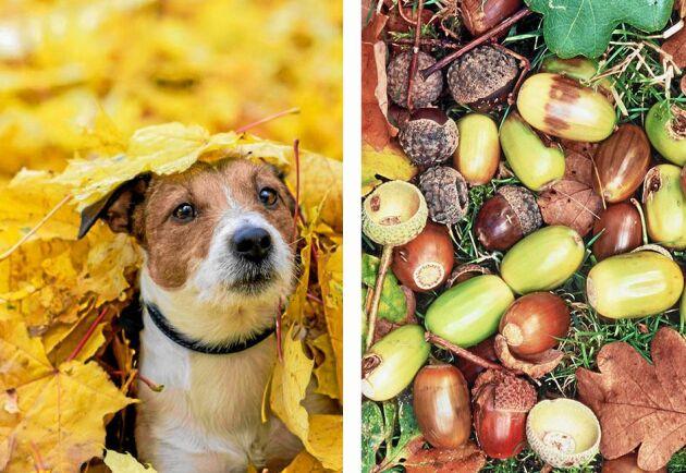 Ekollon kan i värsta fall bli din hunds död – så här gör du om du misstänker ekollonförgiftning!