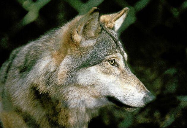 I dag finns drygt 300 vargar i Sverige, enligt Naturvårdsverket. (bilden tagen i hägn)
