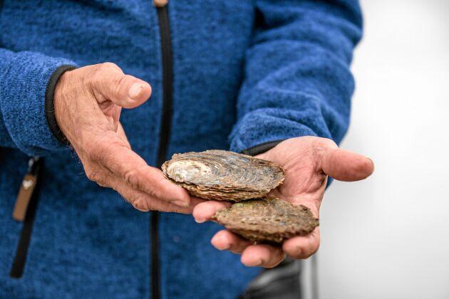 De svenska ostronen är lite mindre och regelbundet runda i formen. De japanska är större, oregelbundna och mer ovala.