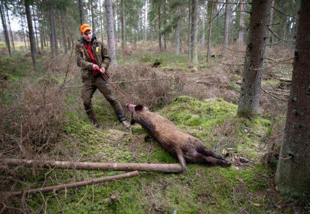 Tungt. Albin Gustavssons pass låg några hundra meter från bilväg, så det blev till att dra djuret för hand ut ur skogen.