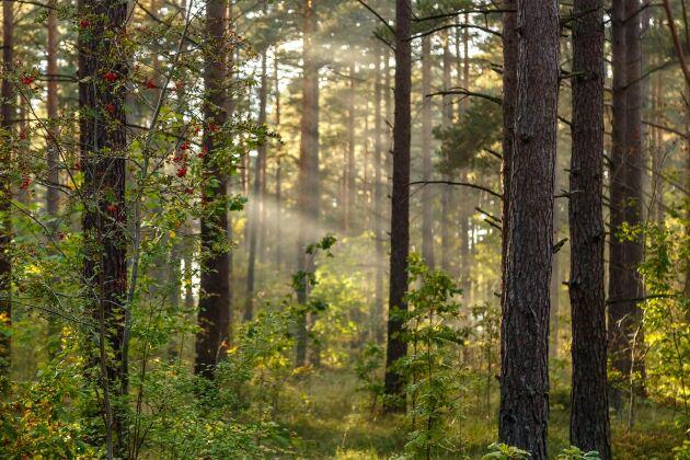 SCA köper skog i Lettland.