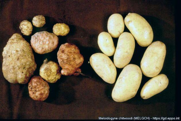 Potatis angripen av rotgallnematodern Meloidogyne chitwoodi (till vänster) och frisk potatis (till höger).