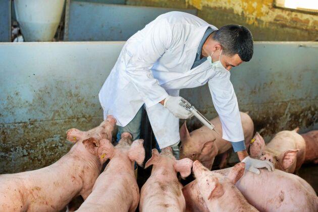 Rutinmässig antibiotikaanvändning förbjuds inom EU om tre år.