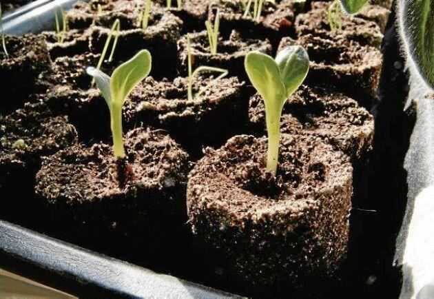 Gurkplantor och lök på väg upp ur var sin jordcylinder.