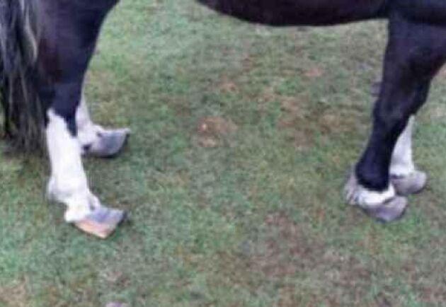 Hästens hovar var så långa att hästen inte längre hade en normal benställning.