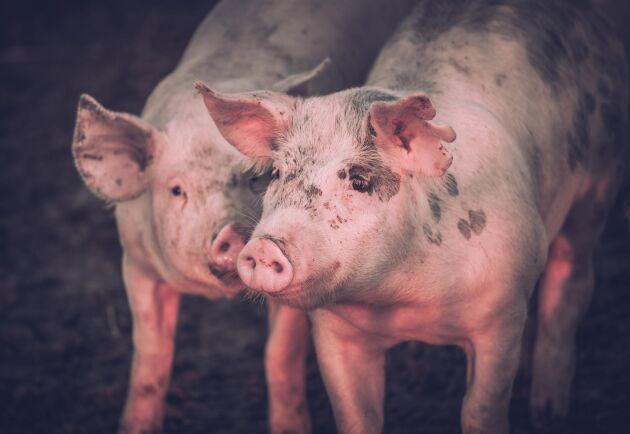 Under sommaren har djurrättsaktivisterna riktat in sig på grisbranschen.