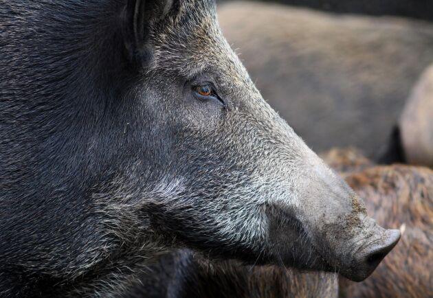 Jakt på vildsvin från varmluftsballong har godkänts av senaten i Texas.