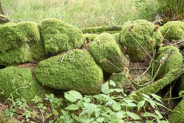 En flera hundra år gammal gärdsgård med i dag mossbelupna stenar. Att mäta tillväxten av lavar är ett sätt att datera en stenmur.