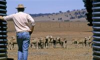 Extremväder orsakar massdöd bland boskap
