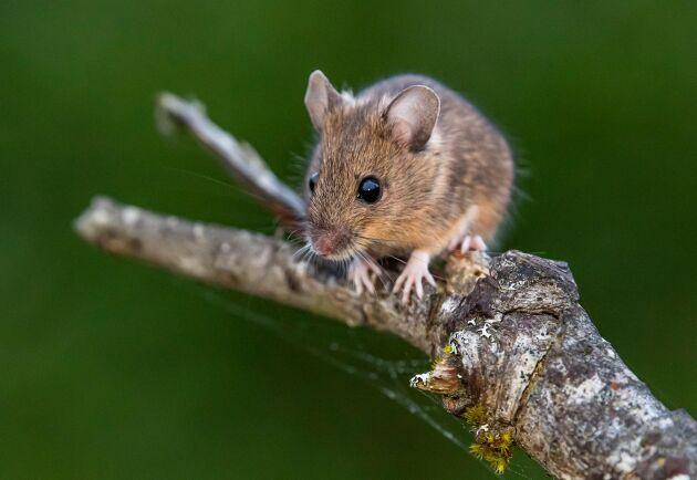 Antalet möss har ökat rejält i år. Den milda vintern förra säsongen samt en god tillgång på föda är två faktorer.