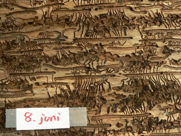 Gnag av åttatandad barkborre, granbarkborre, 8 juni.
