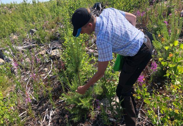 Det är hart när omöjligt att hitta plantor i det här området som det inte betats på, konstaterar Thomas Claesson.