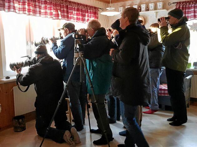 Familjen Ömans kök i Skutskär har besökts av fler än 1 500 fågelskådare som åkt långt för att få se den lilla rostsparven.