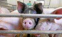 MRSA i nio av tio danska besättningar av slaktsvin