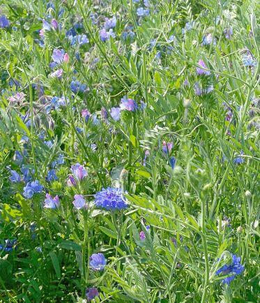 Fröblandning i blått med ekologiskt frö.