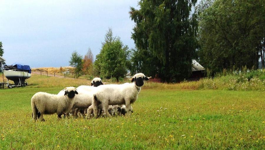 Land.se skriver om världens sötaste får som bor hos Marita i Värmland.