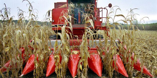 Spannmålsbrist ersätts med rekordmycket majs