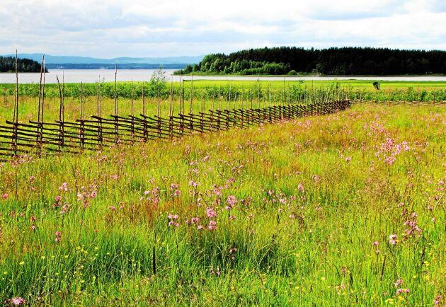 Miljöersättningen för slåtterängar höjs i regeringens nya satsning.