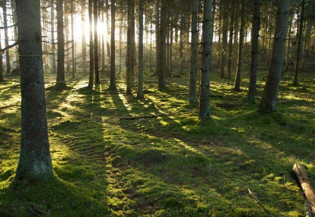 Enligt professor Tomas Lundmark gör ett aktivt brukande av skogen mest nytta för klimatet.