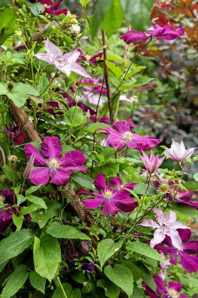 Klematisen är en riktig favoritväxt hos Monica, som gärna bygger sin trädgård på höjden och är svag för blomning i rosa och lila toner.