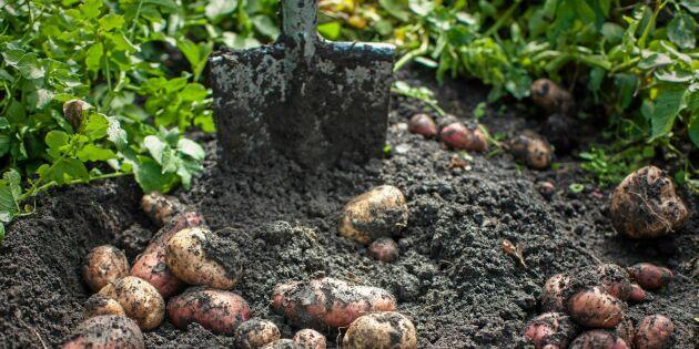 GUIDE: Från gräsmatta till potatisland – så gör du