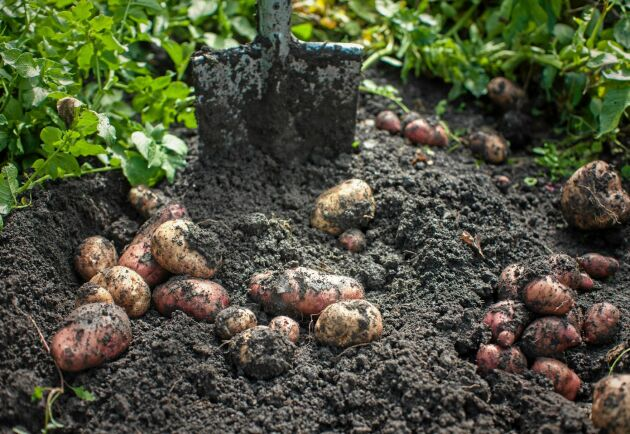 Potatisodlingen lägger grunden så att du kan odla annat.