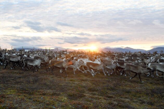 Renar på berget Biergenis i Sorsele, Västerbotten