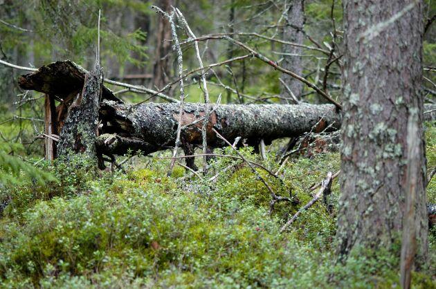 Områden med gammal naturskog är en av de naturtyper som staten vill skydda med reservat. De skogarna innehåller ofta grova timmerträd och har stort värde och då kan ett skogsbyte vara lockande för skogsägaren, något som staten uppmärksammat.