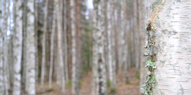 Baltisk virkeshunger ökar intresset för svensk björk