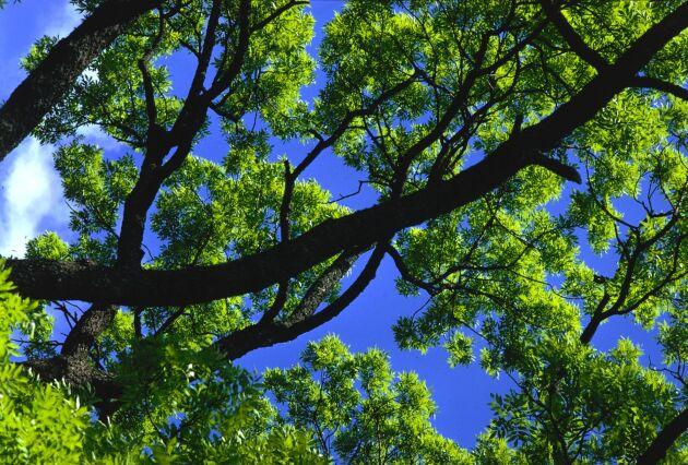 Forskarna har hopp om askträdens räddning.