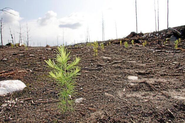 Utan markvegetation fick plantorna en bra start.