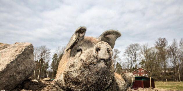 Krav köper gasbedövning av gris