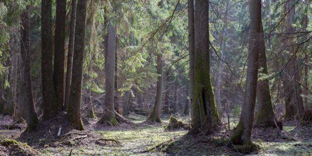 EU: Olagligt att avverka polsk urskog