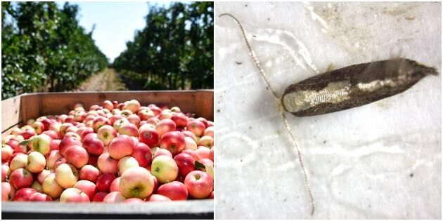 Nytt hot mot skånska äpplen
