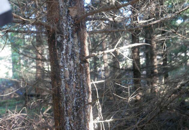 Kronhjortens barkgnag kan drabba träd ända upp i 60-årsåldern. Här är en gran som var i tjugoårsåldern vid skadan som skedde för några år sedan.