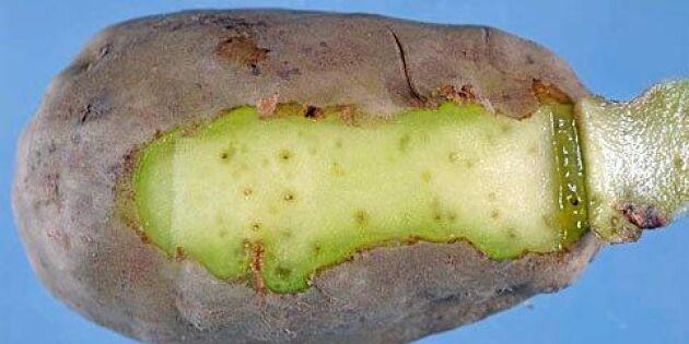 Helt ny farsot hotar svensk potatis