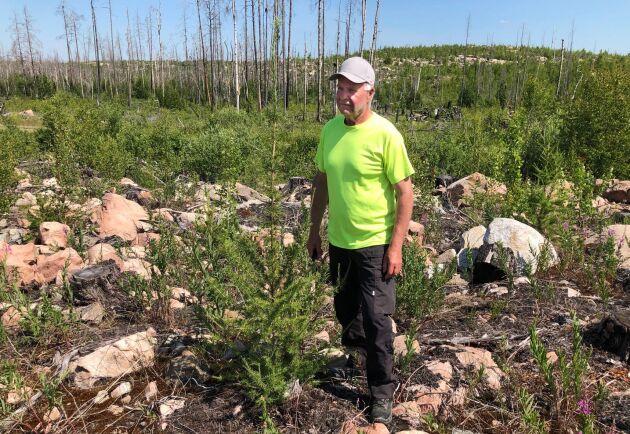 Lars Stolpe äger 160 hektar skog. 150 brann upp i den stora skogsbranden 2014. Han har återplanterat det mesta med tall men också lite gran och 1000 lärkplantor. Den här har hittills klarat sig utan betesskador.