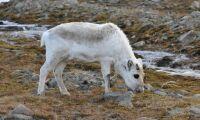Åttonde smittade vildrenen i Norge