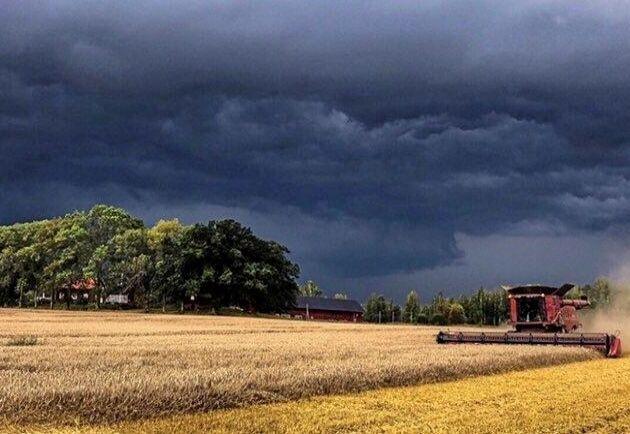 På Nygård i Katrineholm har man fått kämpa mot ovädret under skörden. Men sedan en vecka tillbaka är allt spannmål tröskat - 500 hektar höstvete som odlas till foder.