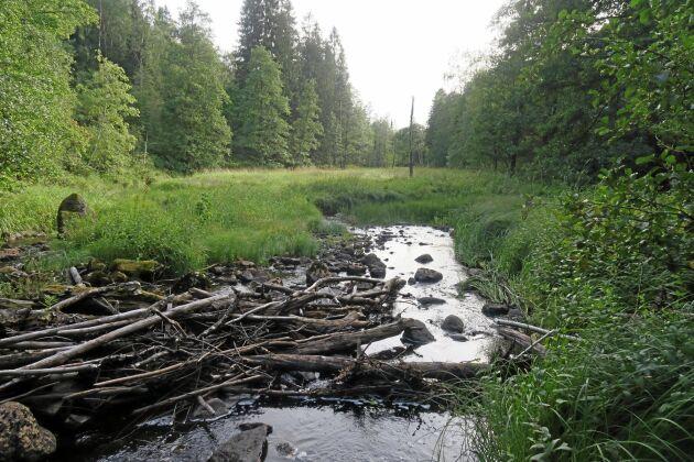 Där det tidigare låg dammar i Imälven har växtligheten tagit över nästan helt och hållet.