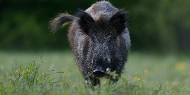 Frivilliga fransmän stängslar mot svinpest