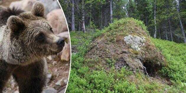 Här kan du sova över – i björnens ide!