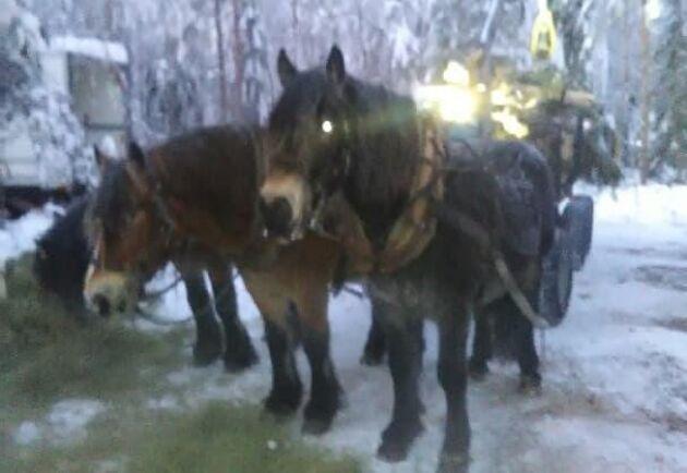Det är Lars-Olov Lundgren och hästarna som skotar, med en specialbeställd kärra från Finland.