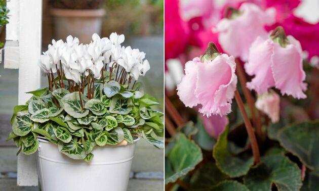 Cyklamen finns med stor variation på både blommor och blad.